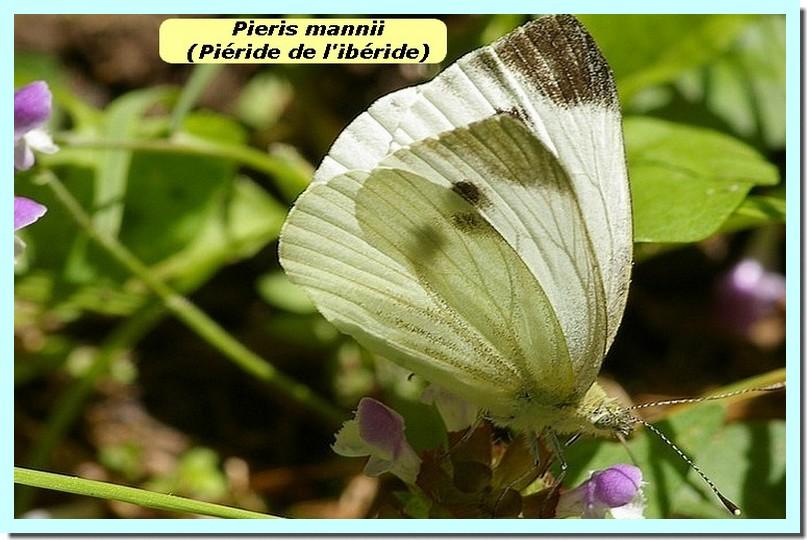 Pieris mannii1c _Pieride de l_iberide_.jpg