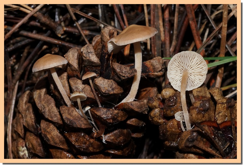 baeospora myosura 19.jpg