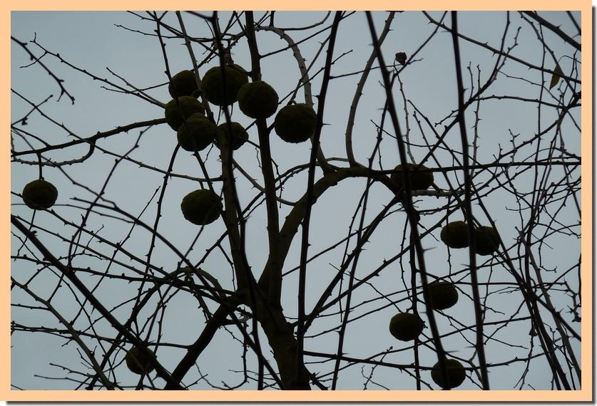 oranger des osages 18 _3_.jpg