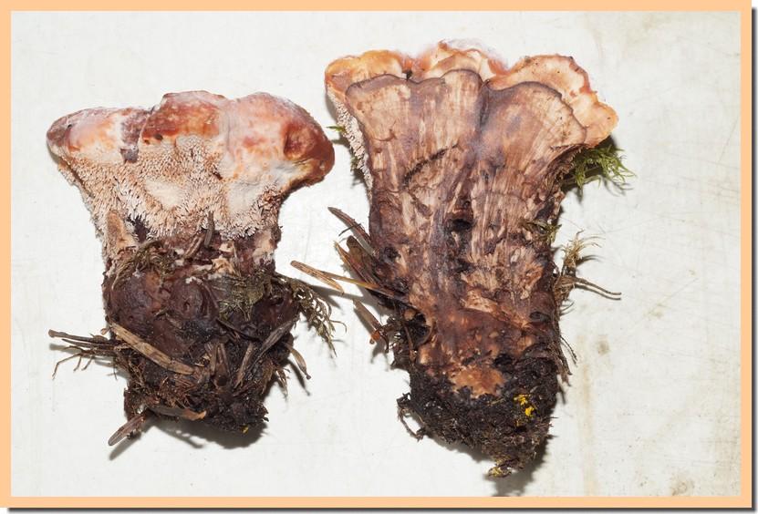 hydnellum aurantiacum 2.jpg
