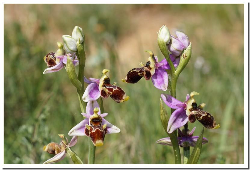 ophrys scolopax 2.jpg