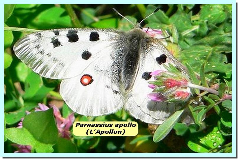 Parnassius apollo1 _l_Apollon_.jpg