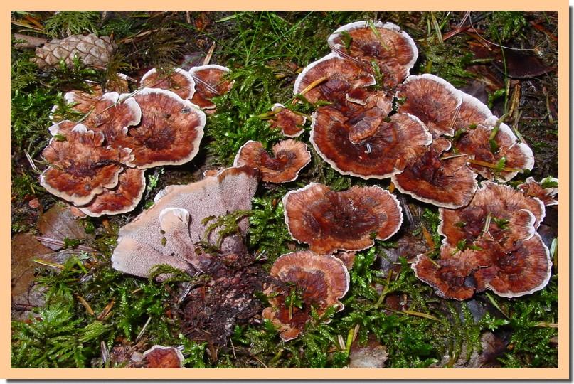 hydnellum scrobiculatum.jpg