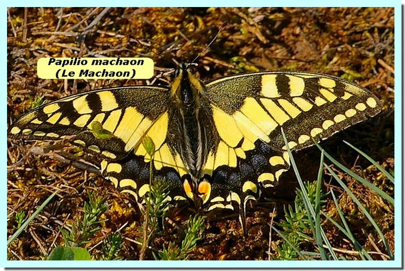 Papilio machaon1b _Machaon_.jpg