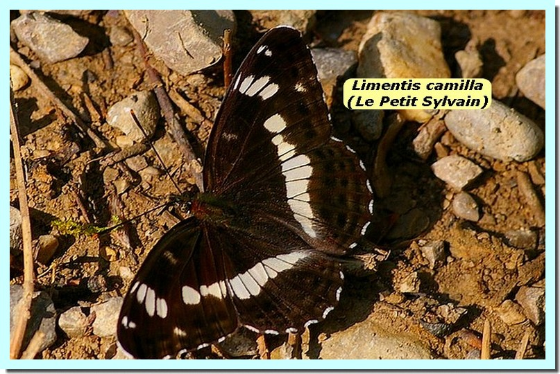 Limenitis camilla1c _Le Petit Sylvain_.jpg