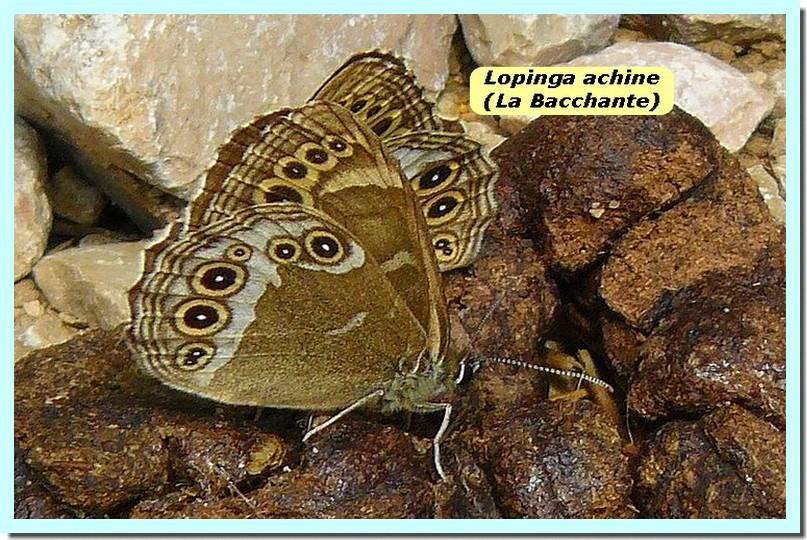 Lopinga achine1 _Bacchante_.jpg