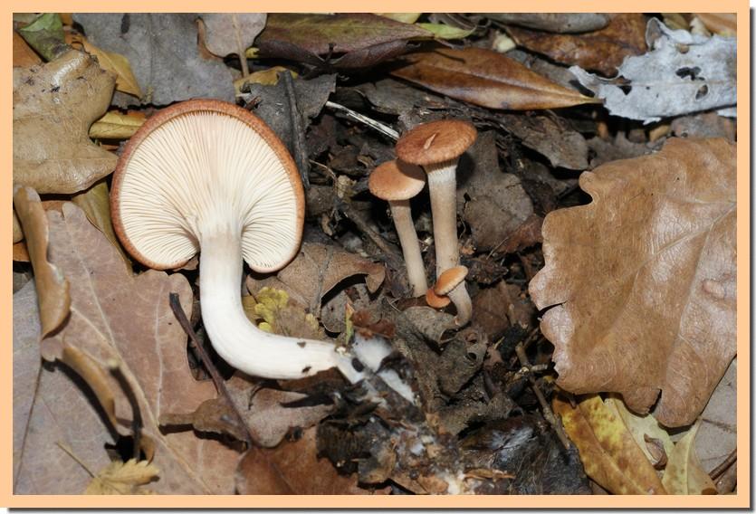 clitocybe squamulosa.jpg