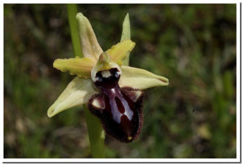 ophrys incubacea4.jpg