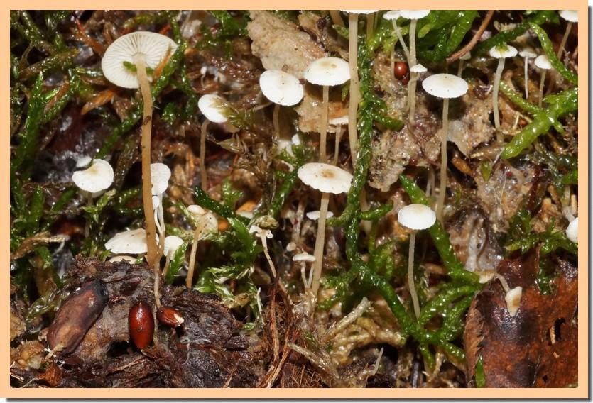 collybia tuberosa 18.jpg