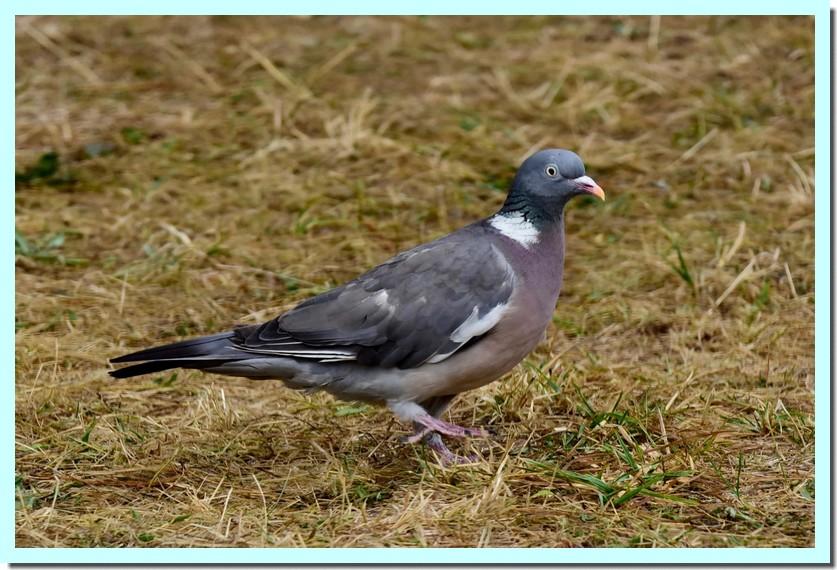 pigeon ramier.jpg