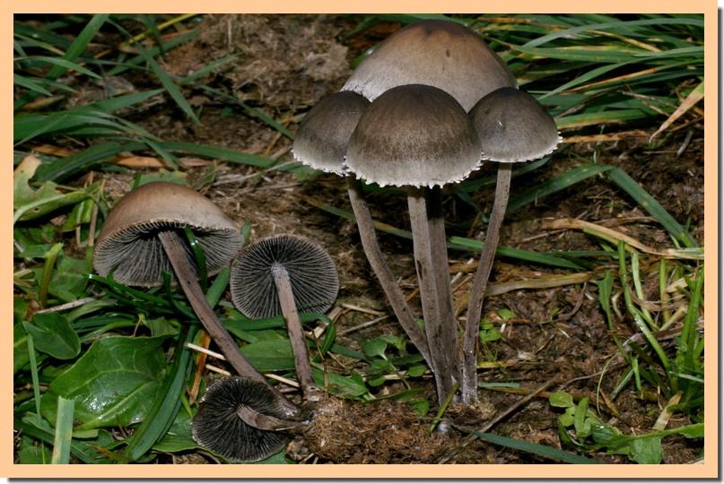 panaeolus sphinctrinus2.jpg