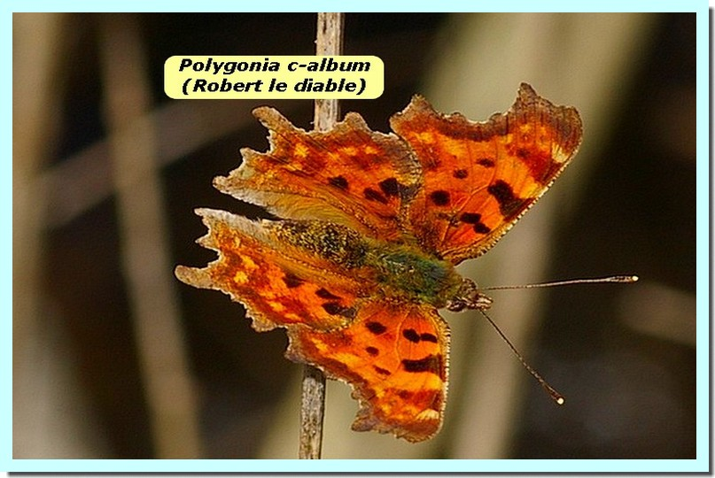Polygonia c-album1a _Robert le diable_.jpg