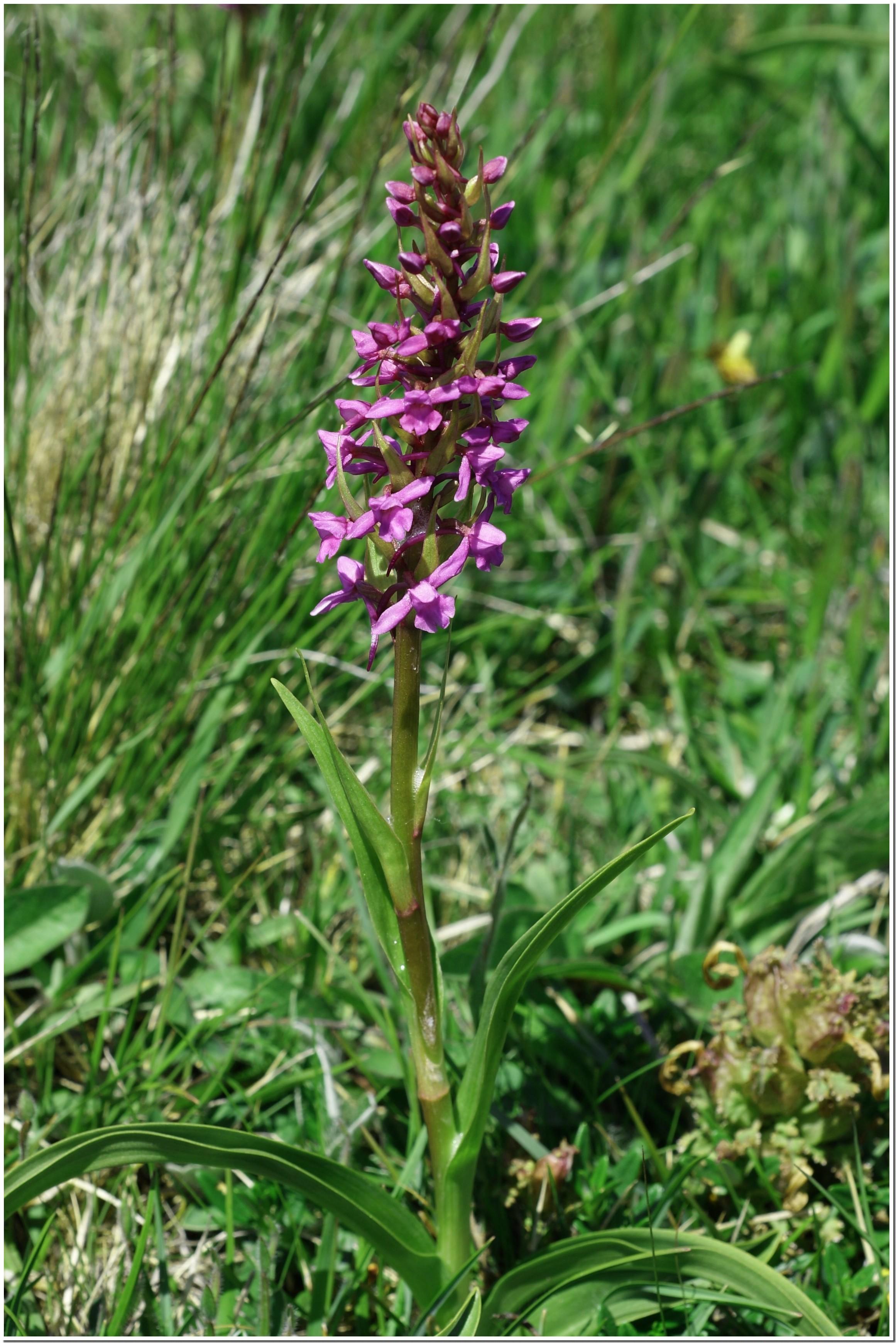 orchis moucheron.jpg