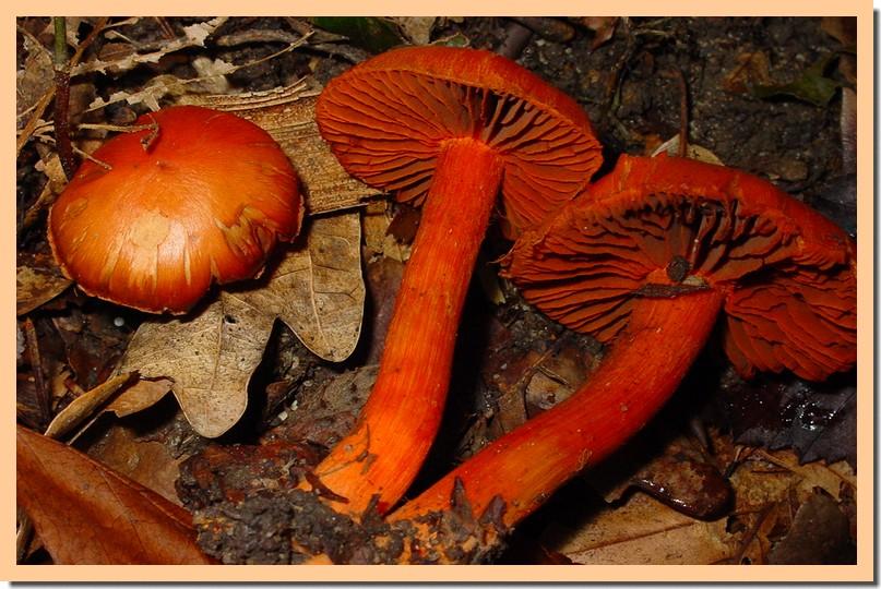 cortinarius cinnabarinus.jpg