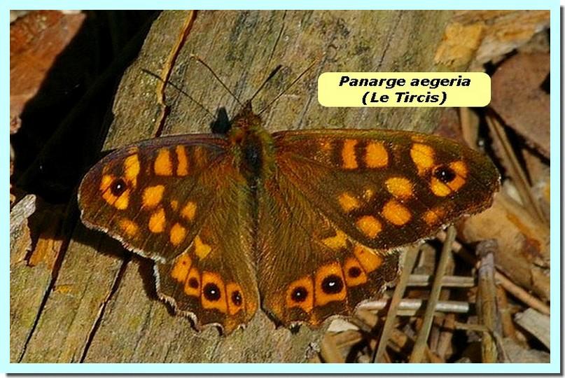 Pararge aegeria1b _Tircis_.jpg