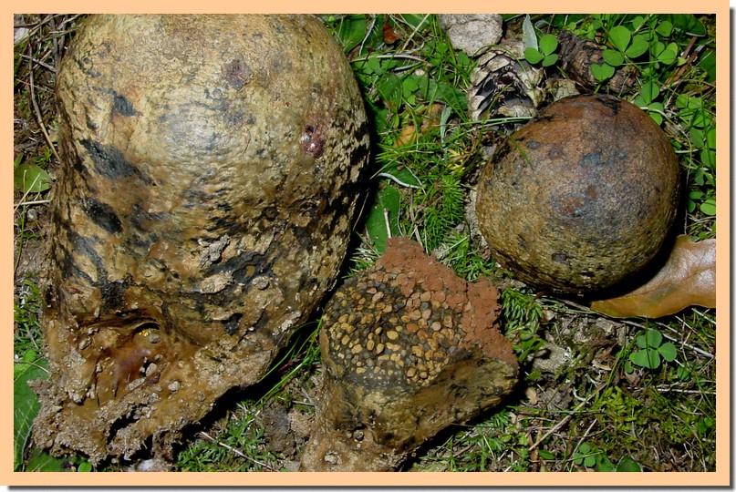 pisolithus arhizus.jpg