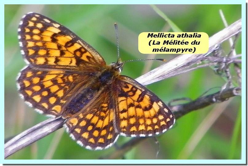 Mellicta athalia1e _Mélitée du Mélampyre_.jpg