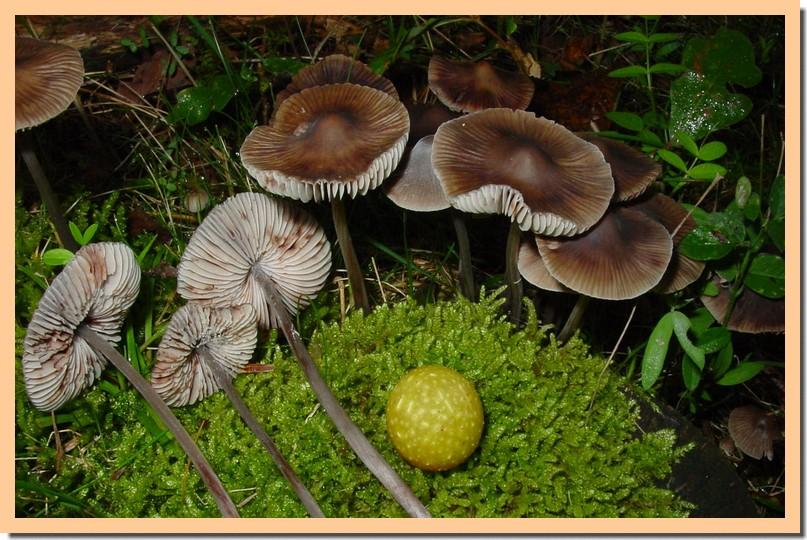mycena maculata.jpg