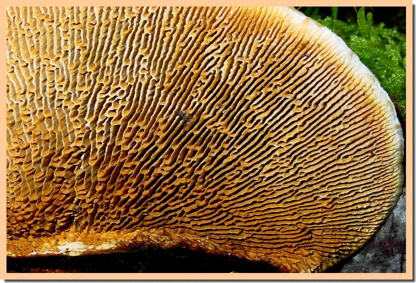 gloeophyllum sepiarium 2.jpg