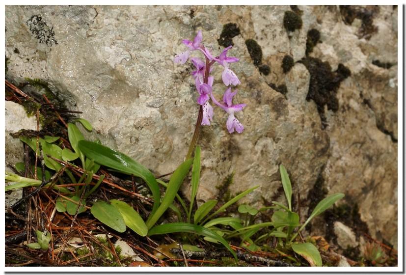 orchis olbiensis 1.jpg