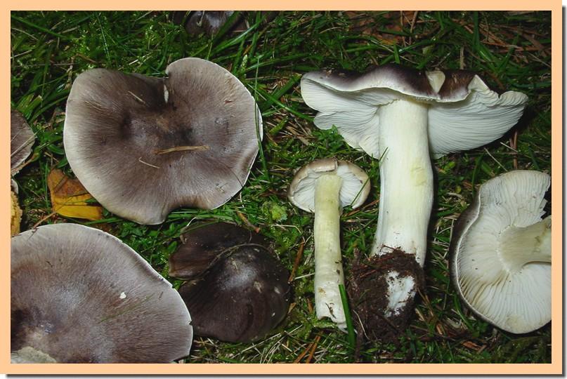 tricholoma portentosum.jpg