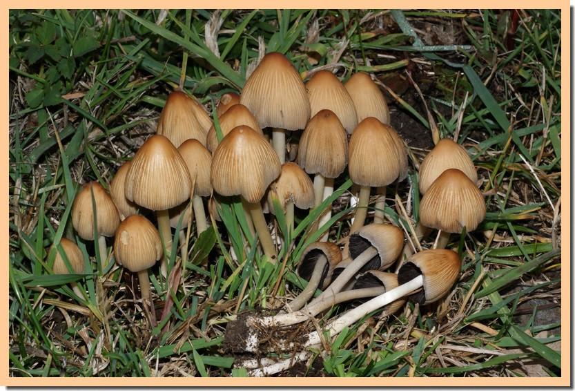 coprinus micaceus10.jpg