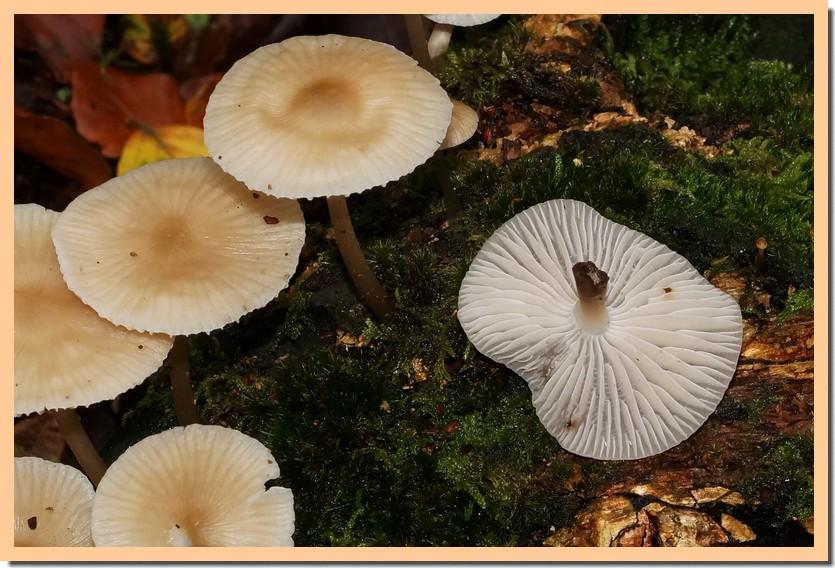 mycena galericulata 19.jpg