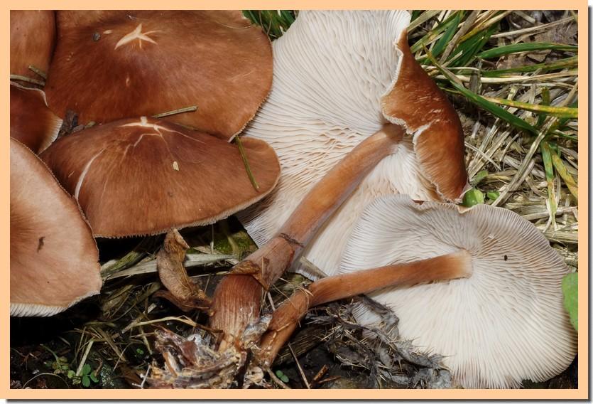 gymnopus luxurians 14.jpg
