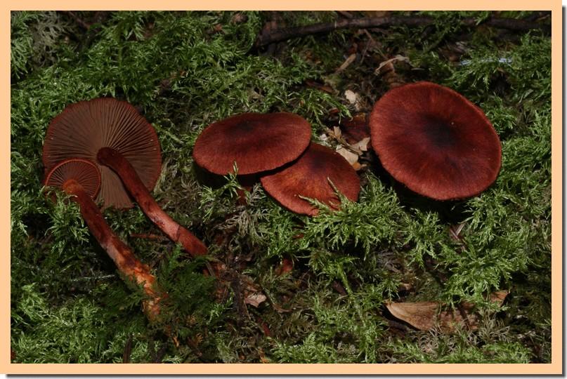 cortinarius sanguineus3.jpg