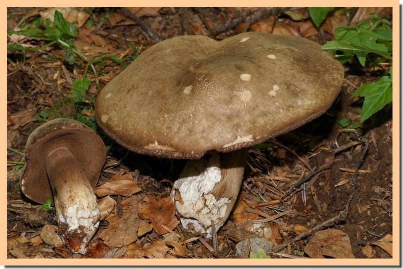 Porphyrellus porphyrosporus 18.jpg