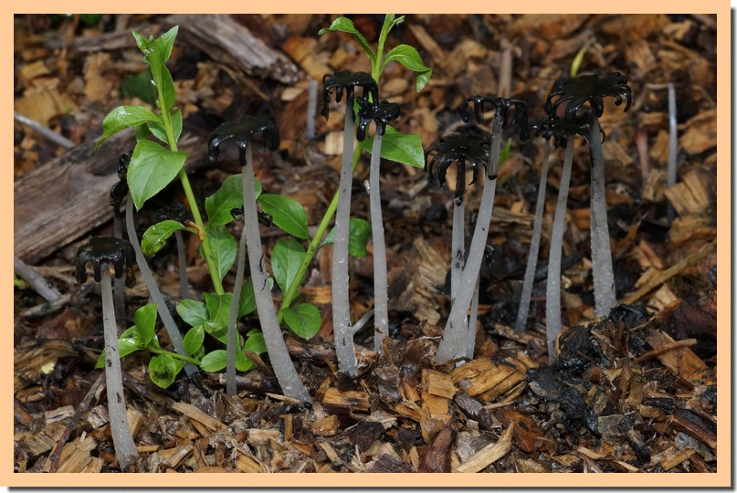 coprinopsis lagopus 16.jpg