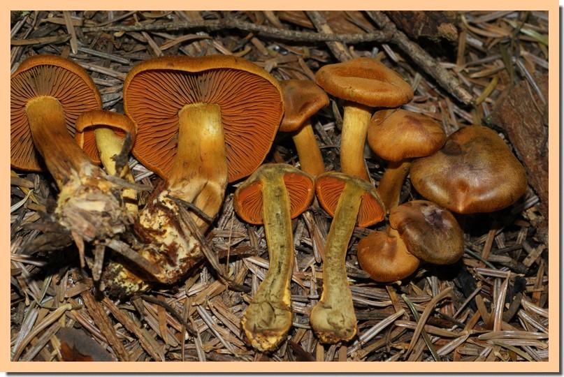 cortinarius malicorius2.jpg