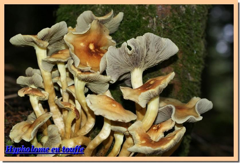 hypholoma fasciculare10.jpg