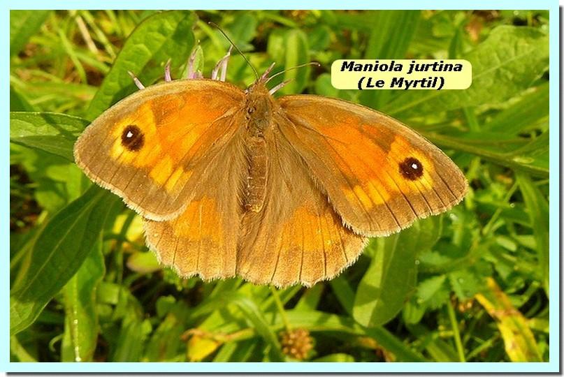Maniola jurtina1 _Myrtil_.jpg