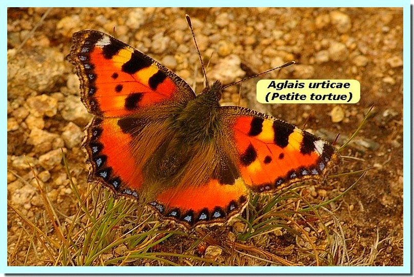 Aglais urticae1b _PetiteTortue_.jpg