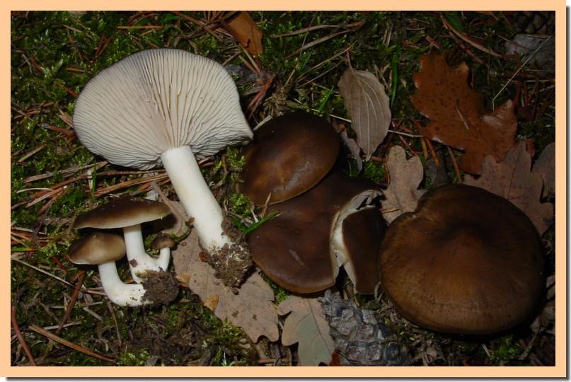lyophyllum decastes2.jpg