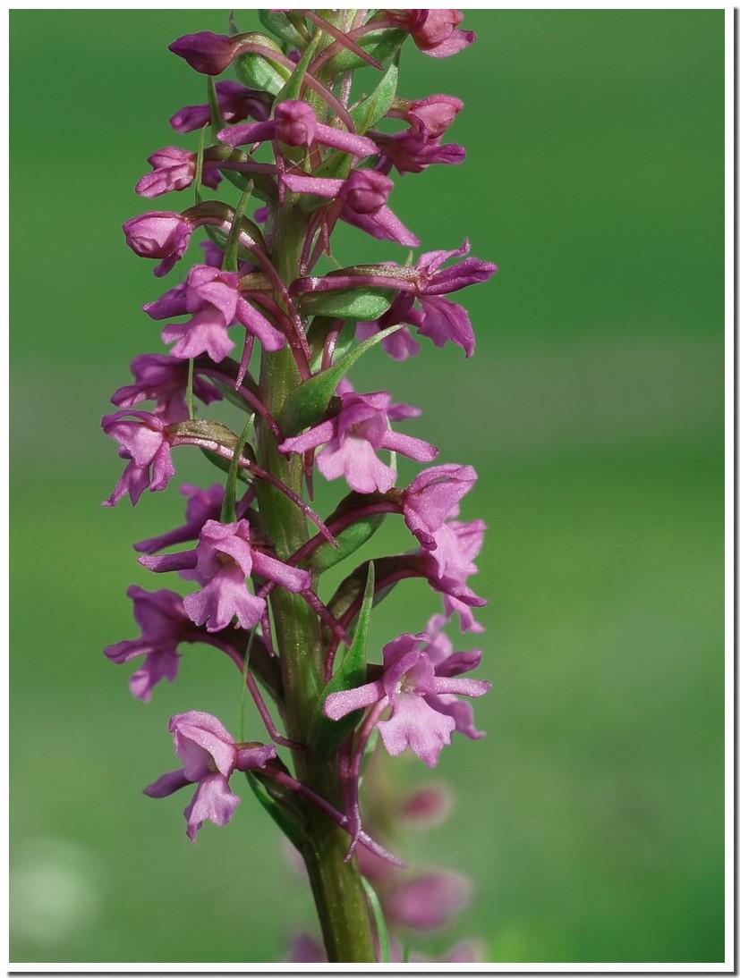 orchis moucheron 19.jpg