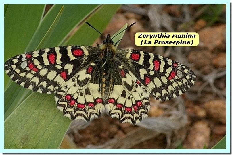 Zerynthia rumina1a _Proserpine_.jpg