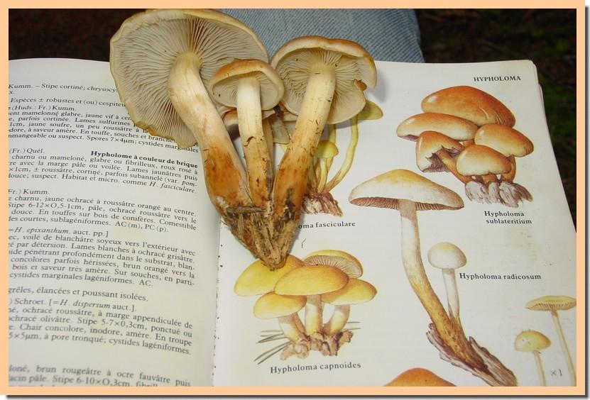 hypholoma capnoides.jpg