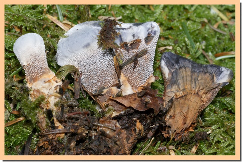 hydnellum caeruleum.jpg