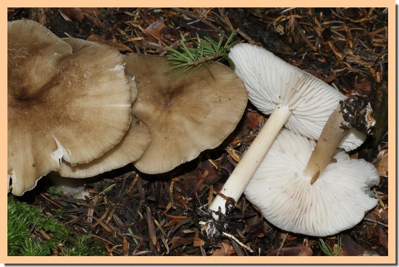 megacollybia platyphylla2.jpg