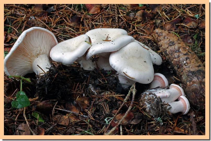 Leucopaxillus rhodoleucus2.jpg