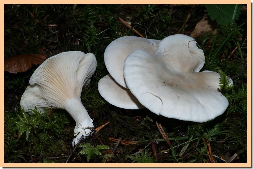 clitopilus prunulus.jpg