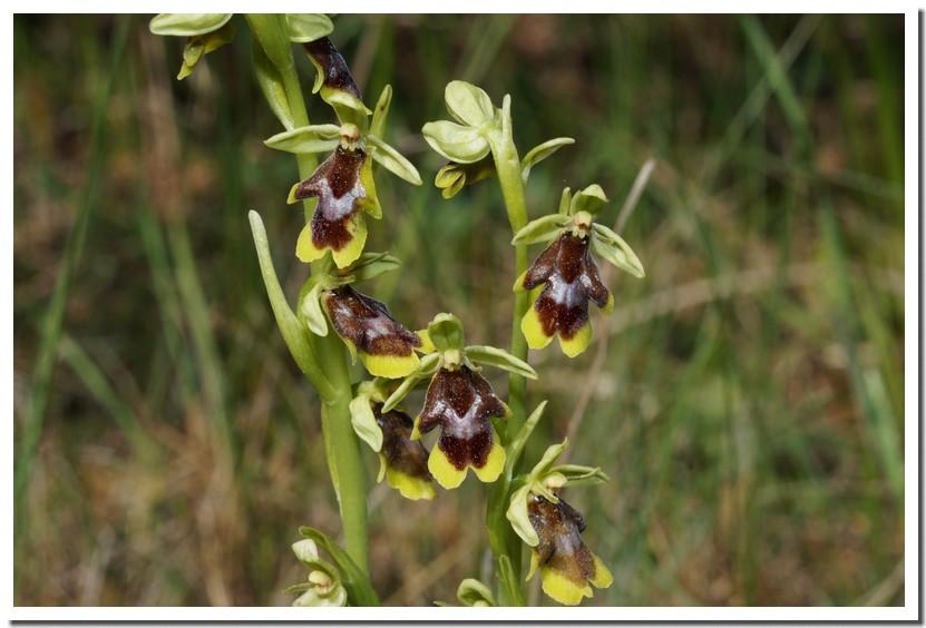 ophrys aymoninii 16.jpg