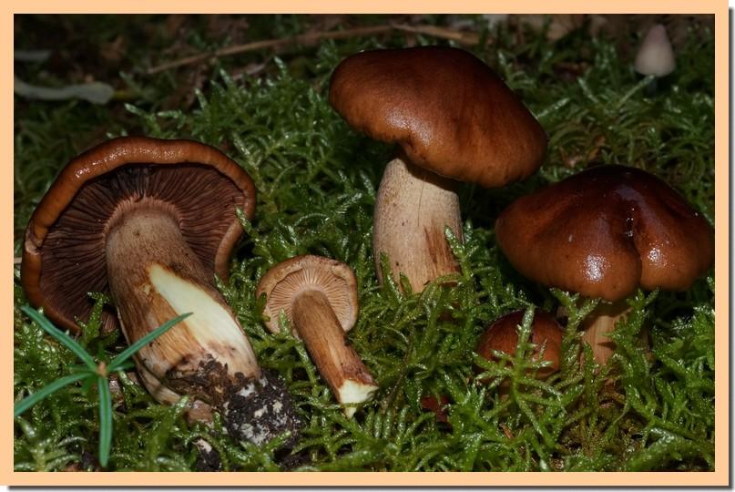 tricholoma pseudonictitans 16.jpg