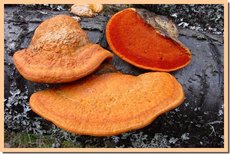 pycnoporus cinnabarinus.jpg