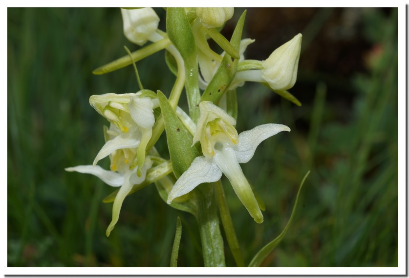 platanthera chlorantha2.jpg