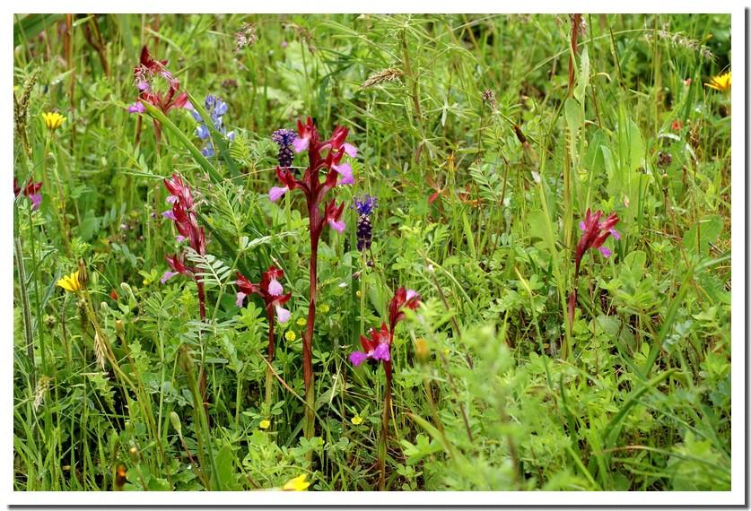 orchis papilionacea3.jpg