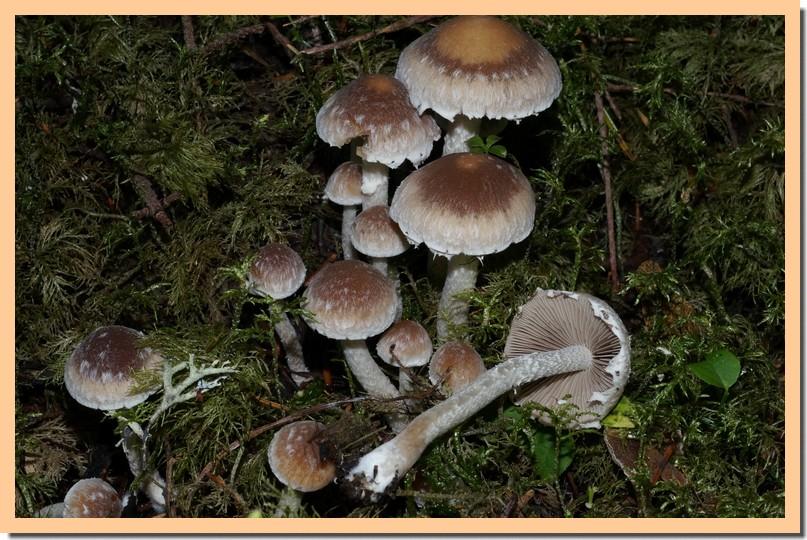 psathyrella artemisiae 15.jpg
