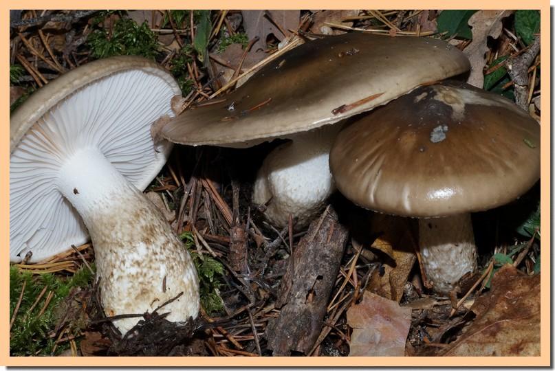 hygrophorus latitabundus4.jpg
